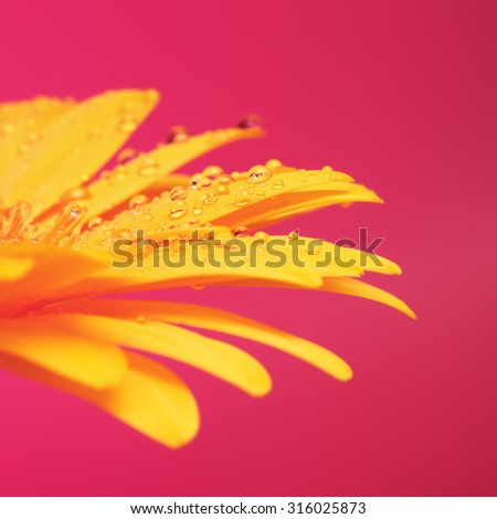 beautiful yellow gerbera flower petals on red background - stock photo