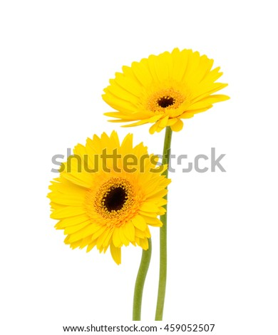 beautiful yellow gerbera flowers isolated on white background - stock photo