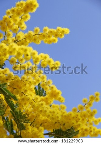 beautiful yellow mimosa in bloom and the blue spring sky - stock photo