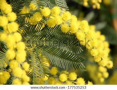 beautiful Yellow Mimosa to give women in the international women's day on 8 March 8 - stock photo