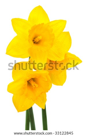 Beautiful yellow narcissus on a white background - stock photo
