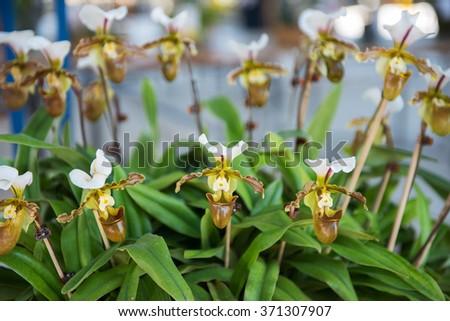 Beautiful yellow orchids flower tree. (Paphiopedilum) - stock photo