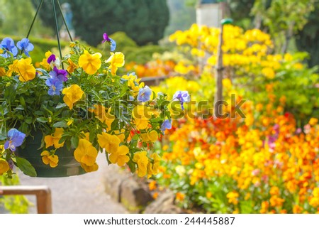 Beautiful yellow pansy flowers in hanging basket - stock photo