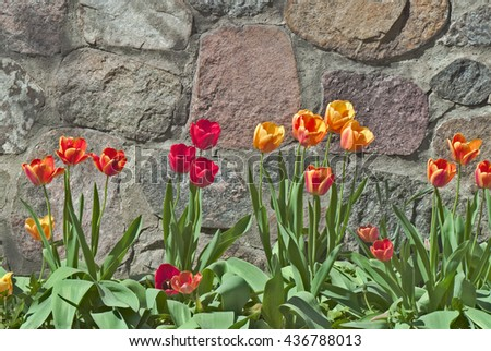 Beautiful Yellow, Red and Orange Tulips In Front of Stone Wall - stock photo