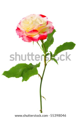 beautiful yellow red rose isolated on white - stock photo