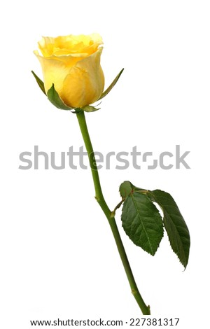 beautiful yellow rose isolated on white background - stock photo