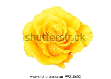 Beautiful yellow rose on a white background - stock photo