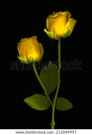 Beautiful yellow roses with a black background - stock photo