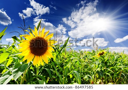 Beautiful yellow sunflower close-up at the sky blue - stock photo