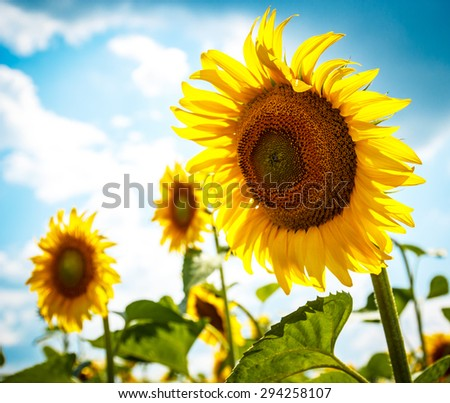 Beautiful yellow sunflower in the sun against blue sky and clouds.  - stock photo