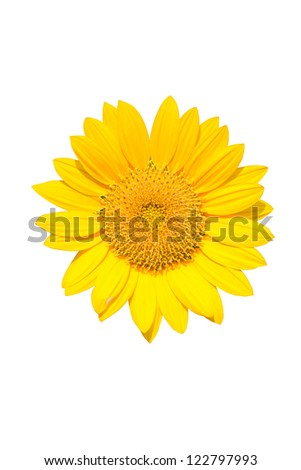 Beautiful yellow Sunflower isolated on white background using clipping path. - stock photo