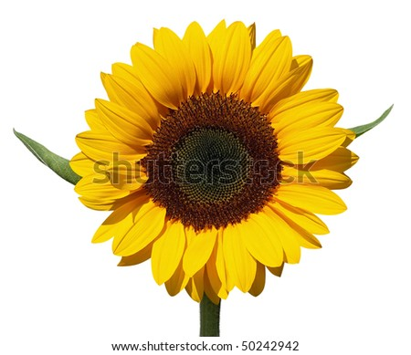 Beautiful yellow Sunflower isolated over white. Clipping path. - stock photo