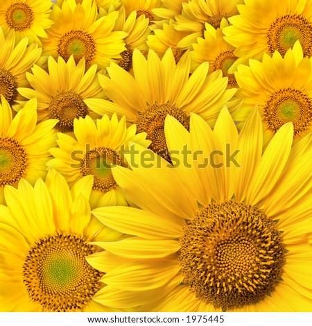 beautiful yellow Sunflower petals closeup - stock photo