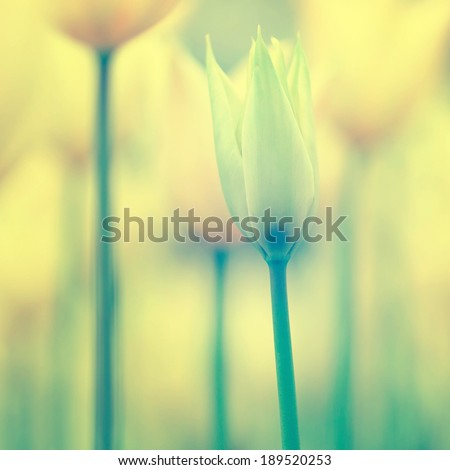 Beautiful yellow tulips background made with vintage color filter. Selective focus used. - stock photo