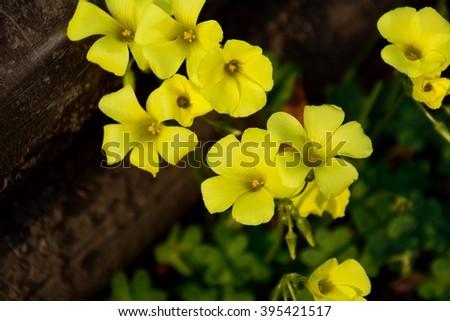 Beautiful yellow wood sorrel flowers in spring - stock photo