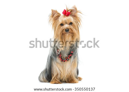 Beautiful yorkshire terrier dog with red bow and beads sitting. Isolated over white background. Copy space. - stock photo