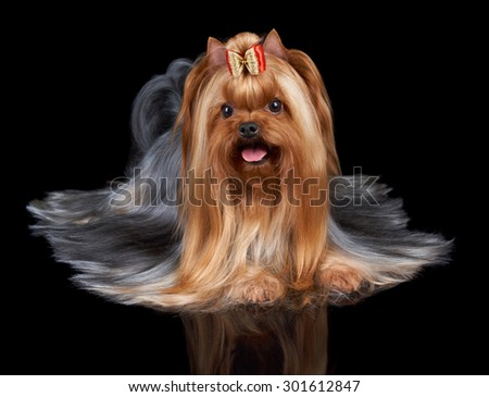 Beautiful Yorkshire Terrier with slightly open mouth lies on black reflecting background. Its long hair is perfectly combed by professional groomer.                               - stock photo
