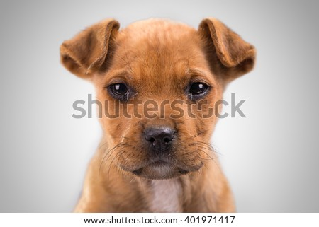 Beautiful young american stafford terrier in studio. - stock photo
