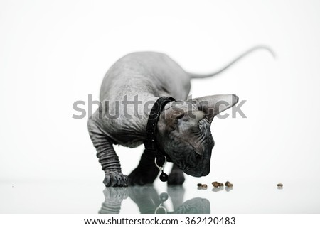 Beautiful young don sphynx kitten playing with their treats, white background and mirror reflection, naked cat - stock photo