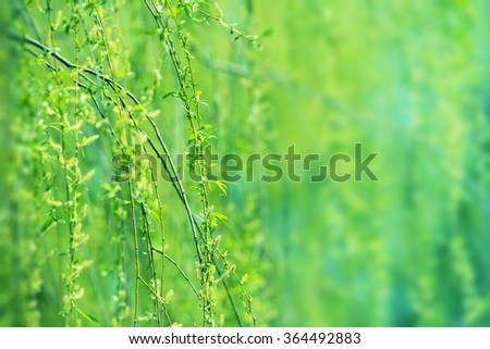 Beautiful young green willow tree leaves in early spring. Shallow depth of field.  - stock photo