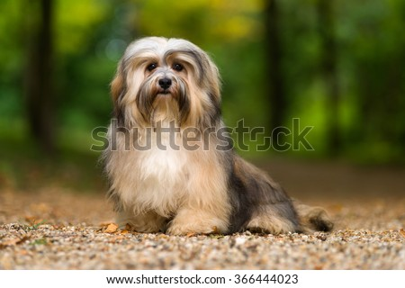 Beautiful young havanese dog is sitting on a gravel forest road in soft light in late summer - stock photo