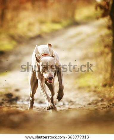 beautiful, young, healthy, fast and funny weimaraner dog running through a meadow and is very upbeat - stock photo
