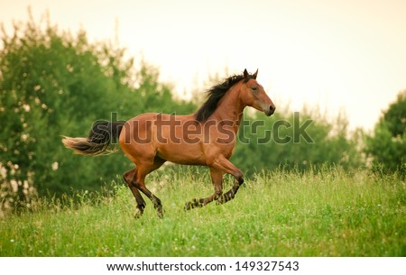 Beautiful young horse running at field in summer  - stock photo