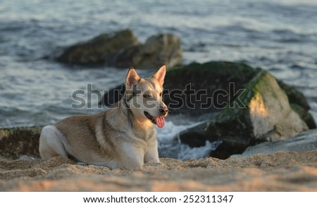 Beautiful young husky cross male dog at the beach - stock photo