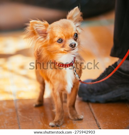Beautiful Young Red Brown And White  Tiny Chihuahua Dog Staying On Wooden Floor - stock photo