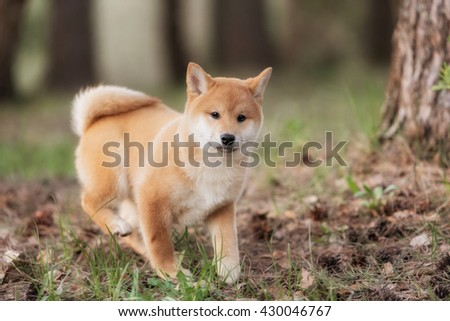 Beautiful Young Red Shiba Inu Puppy Dog Outdoor - stock photo
