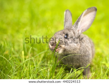 Beautiful young small rabbit on the green grass  in summer day. Gray bunny rabbit  on grass background. Rabbit eats grass - stock photo