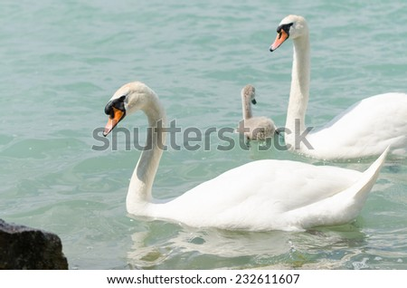beautiful young swans in a lake - stock photo