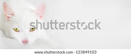 beautiful young white kitten lazy - yellow-green eyes, white background, blurred - stock photo