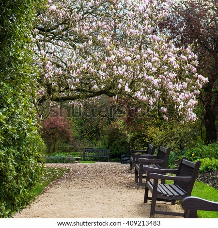 Beautifull Light Pink Magnolia Tree with Blooming Flowers during Springtime in English Garden, UK - stock photo