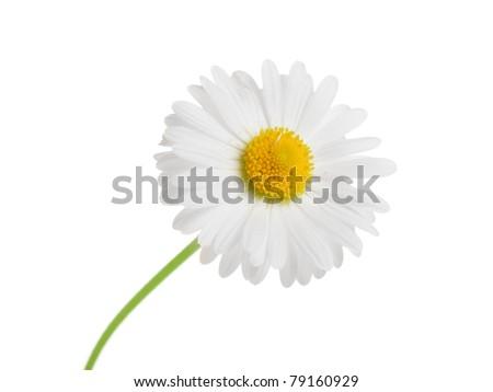 beauty chamomile   isolated on white background - stock photo