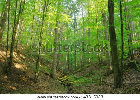 Beauty forest slope with sunrays in the morning - stock photo