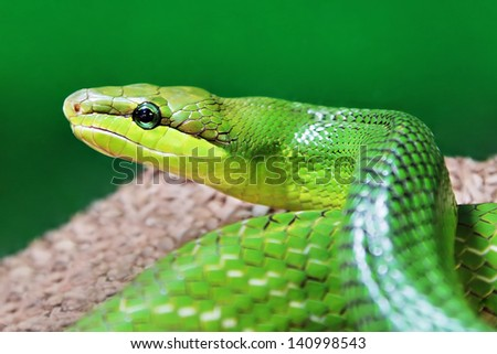 Beauty green snake close up - stock photo