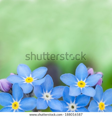 beauty of blue flowers forget-me - stock photo