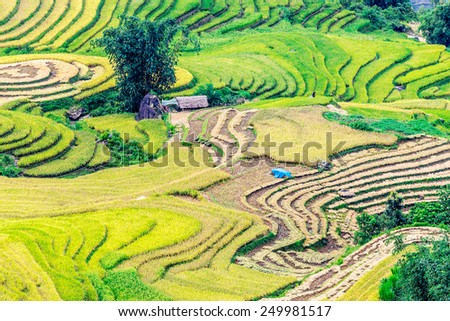Beauty of the ripen rice terraced fields of the H'mong minority people in Y Ty, Lao Cai, Vietnam. - stock photo