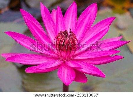 Beauty pink lotus flower in the lake - stock photo