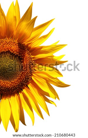 Beauty Sunflower in isolated background - stock photo