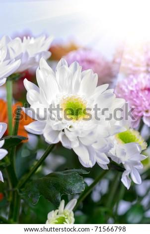 beauty white chrysanthemums flowers close up - stock photo
