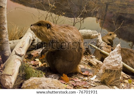 Beavers Working - stock photo