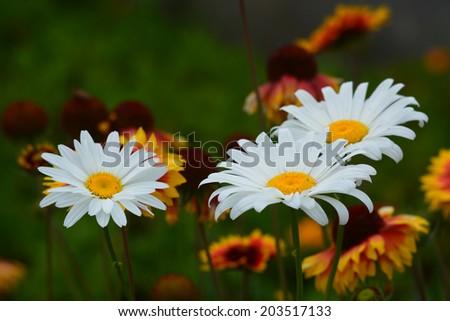 Becky Shasta Daisy on defocused Gaillardia background - stock photo
