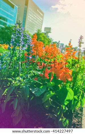 Bed of lavender blooming in the sunset color - stock photo