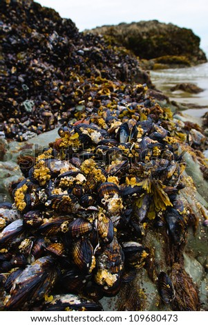 Bed of Pacific Mussels growing on Rock - stock photo