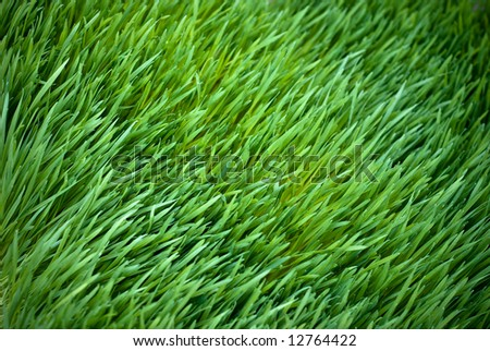 Bed of Wheatgrass - stock photo