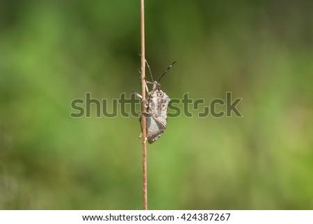 bedbug - stock photo