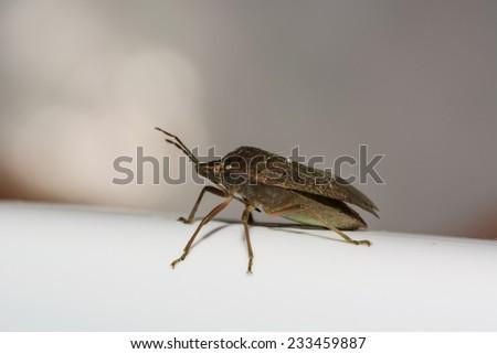 Bedbug macro - stock photo
