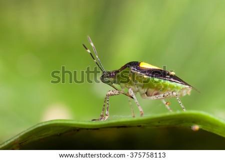 Bedbug on leaf - stock photo
